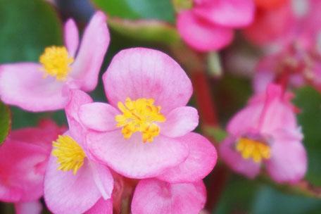 ベゴニアの花言葉には「幸福な日々」という意味もある