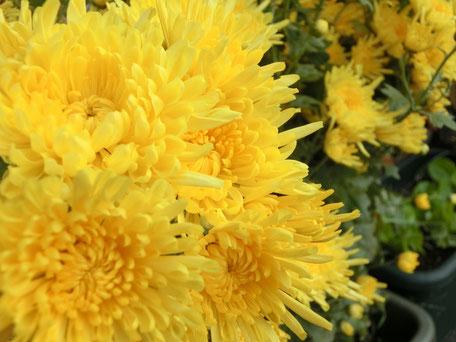 菊は「高貴」や「高尚」などの花言葉がある