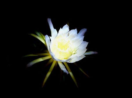 月下美人の寿命の短命さから花言葉は「はかない恋」「はかない美」