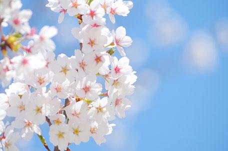 さくらの花言葉は「大胆」