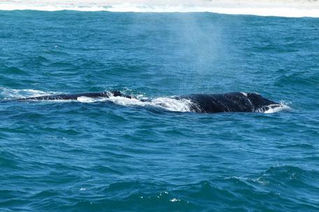 Wale/Hermanus/Bootstour/Whalewatching/Walbeobachtung/Südafrika