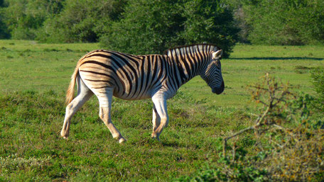 /Zebra//Addo Elephant Park/Safari/Game Drive/Elefanten/Löwen/Big Five/Big Seven/Südafrika