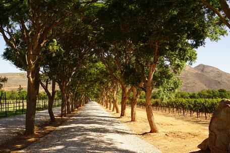 Weinprobe/Weinanbau/Südafrika/Stellenbosch/Südafrika