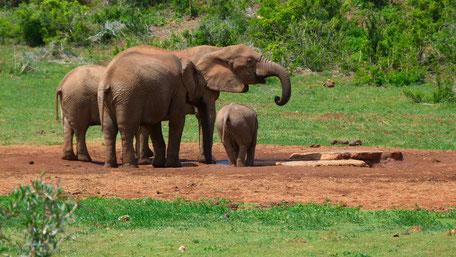 /Addo Elephant Park/Safari/Game Drive/Elefanten/Löwen/Big Five/Big Seven/Südafrika