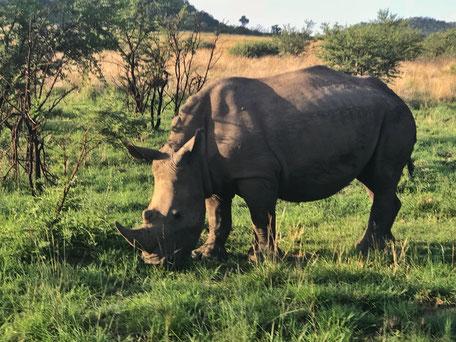 Nashorn/Pilanesberg/Suncity/Südafrika