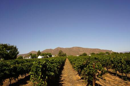 Stellenbosch/Weinanbau/Südafrika