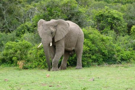 /Elefanten/Knysna/Südafrika
