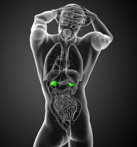 3D-Modell Mensch mit Nebennieren