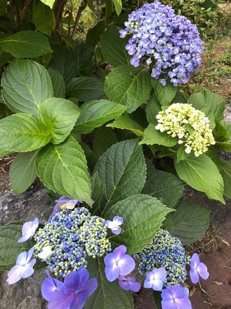 お客様のご実家で咲いていた紫陽花