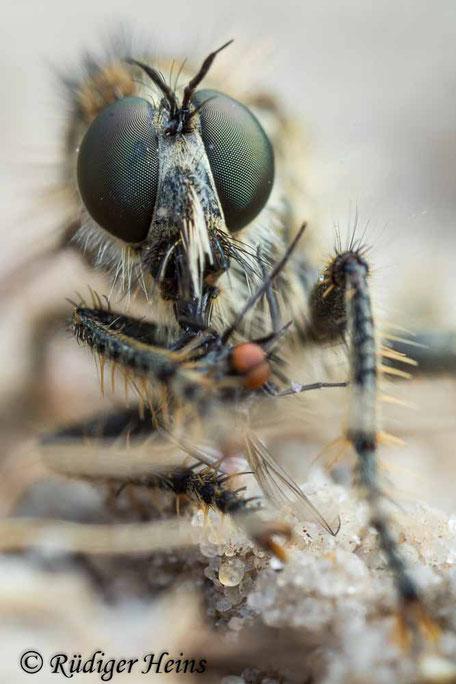 Dysmachus trigonus, Säbel-Raubfliege, Weibchen mit Beute, 19.6.2021 fotografiert mit Lupenobjektiv 65mm f/2.8