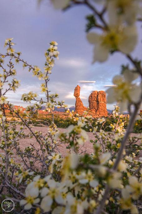 Utah USA Amerika Westküste Sonnenuntergang arches nationalpark la mal mountains berge balanced rock blüten baum Natur Kontrast