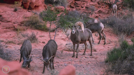 Valley of Fire State Park Nevada Bighorn Sheep