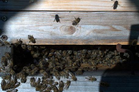 Bienen am Flugloch