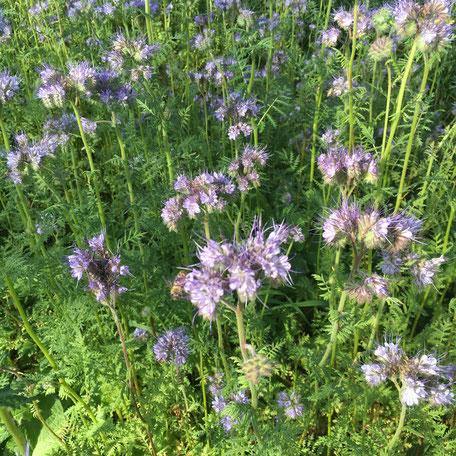 Blühten und Bienen