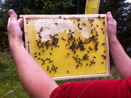 frische Wabe mit Bienen
