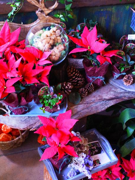 クリスマスの赤!!ポインセチアとチェッカーベリー