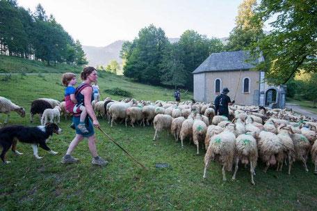 L'élevage ovin en voie de féminisation notamment dans les Pyrénées