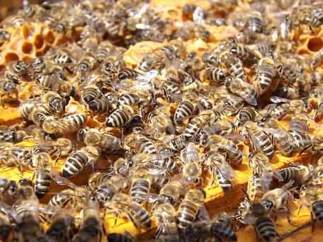 Propolis, ein Baum-Kittharz, färbt das Holz des Bienenstocks goldbraun, wenn die Bienen ihn damit desinfizieren. (Quelle: seagul auf pixabay)