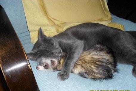 Blue russian cat Mici & Ferret Sophia