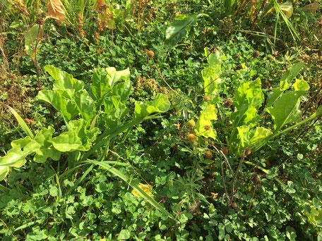 Clover established as a living mulch understory in a sugar beet crop