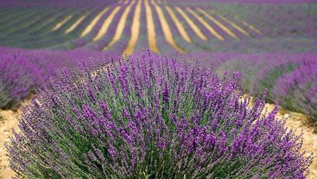 Lavendel entspannt und entkrampft