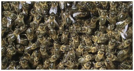 Eixam d'abella negra