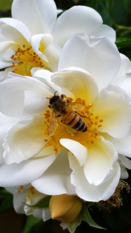Biene auf mit bienfreundlicher Rose