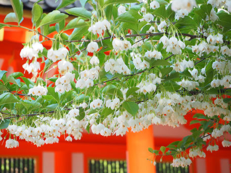 えごの樹に咲き誇る 鈴なりの白い花