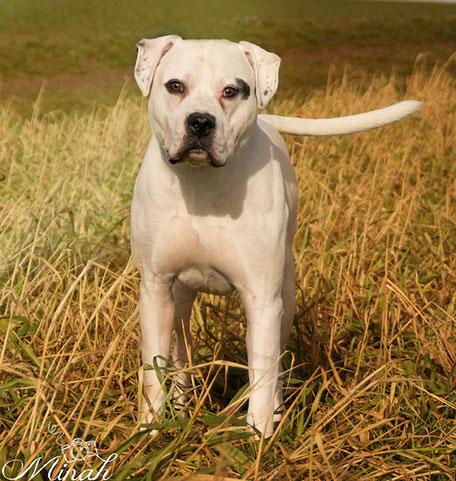 American Bulldog Lennox