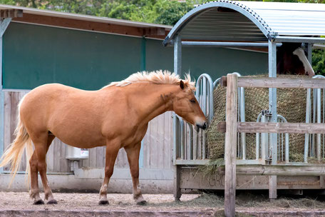 haflinger-am-heu-stand-pferde
