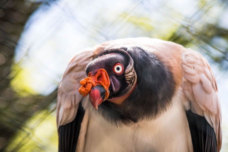 koenigsgeier-tiere-greifvogel-vogel