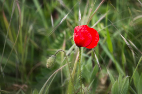 mohnblume-rot-mit-knospe