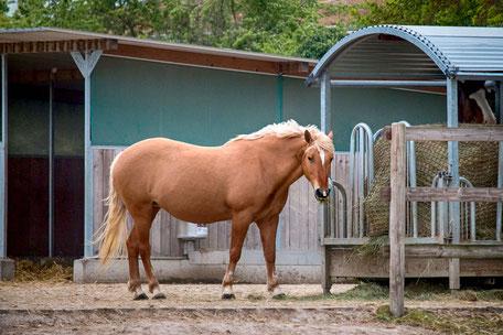 haflinger-am-futterstand-pferde