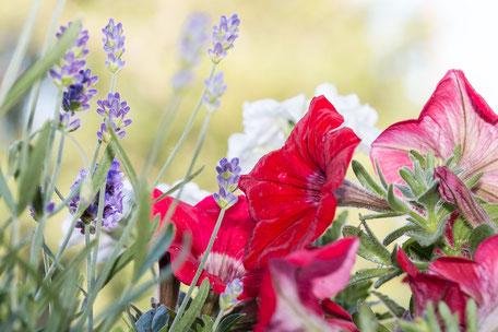 petunien-rot-lavendel