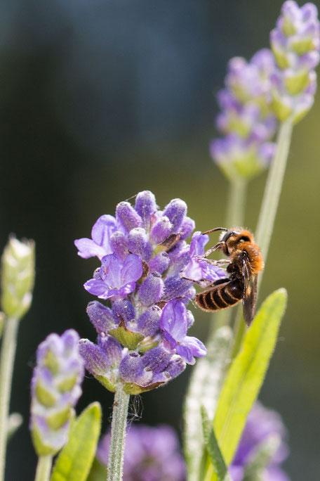 schwebfliege-hosenbiene-an-lavendel-hochkant-II