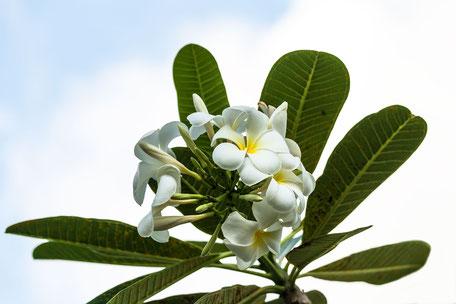 frangipani-tempelbaumblueten-weiss