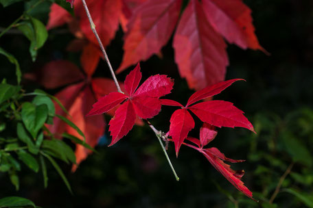 rote-herbstblaetter