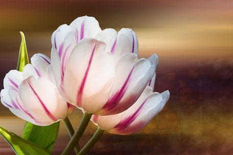 tulpen-weiss-lila-macro