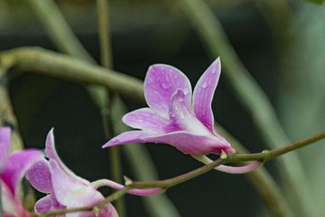 orchidee-bluete-rosa-mit-wassertropfen