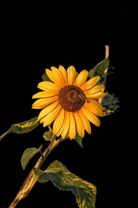 sonnenblume-auf-schwarzem-hintergrund