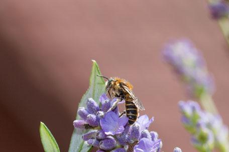 schwebfliege-hosenbiene-an-lavendel