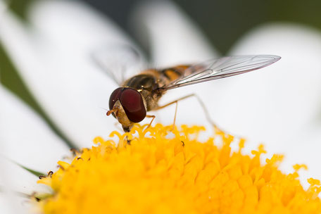 schwebfliege-nimmt-nektar-auf