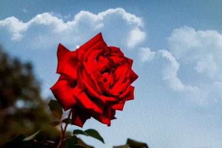 aufgebluehte-freilandrose-rot-malerisch