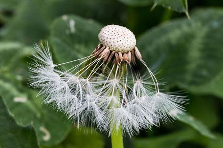 loewenzahn-pusteblume