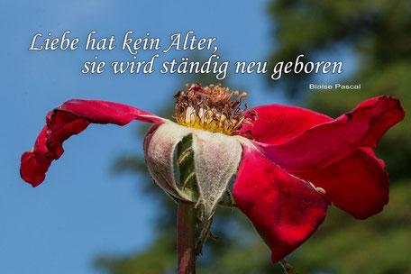spruchkarte-zitat-rose-alter-verbluehte-freiland-rose