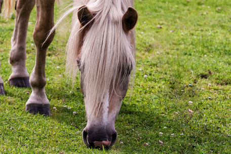 pferd-grast-auf-der-weide-detailansicht