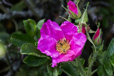 hagebutte-heckenrose-bluete-insekten-macro