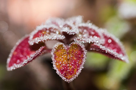 frosted-heart-oregano-blatt-frost