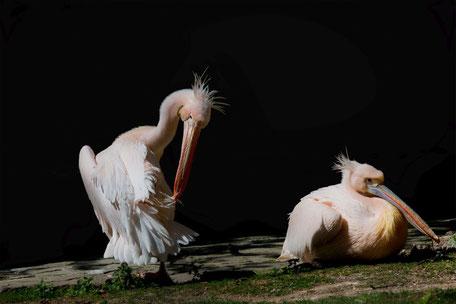pelikane-bei-der-federpflege-koerperpflege-tiere