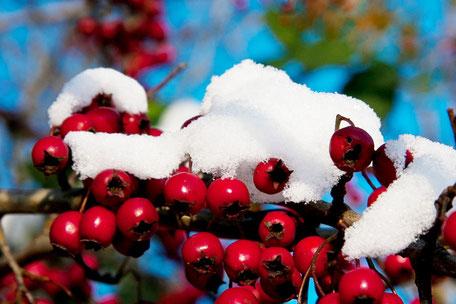 feuerdorn-beeren-mit-schneehaube